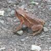 【世界遺産】白神山地で見かけたカエルの不思議な鳴き声