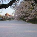 桜は散り際が美しいというが、これは間違いないと思う