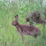 大きい野うさぎが野草の中からひょっこりと現れた|久々の動物写真