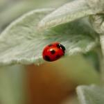 久しぶりに見た!てんとう虫はどんな幸福の前兆なのか?