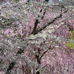 【2016年版】今年も弘前公園で満開の桜を見てきました!ここは必見です!