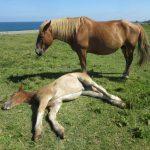 尻屋岬で寝っ転がる馬が自由すぎる 青森県東通村で見る理想のライフスタイル